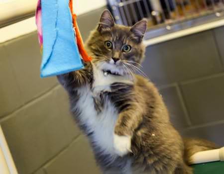 adult-cat-adopt
